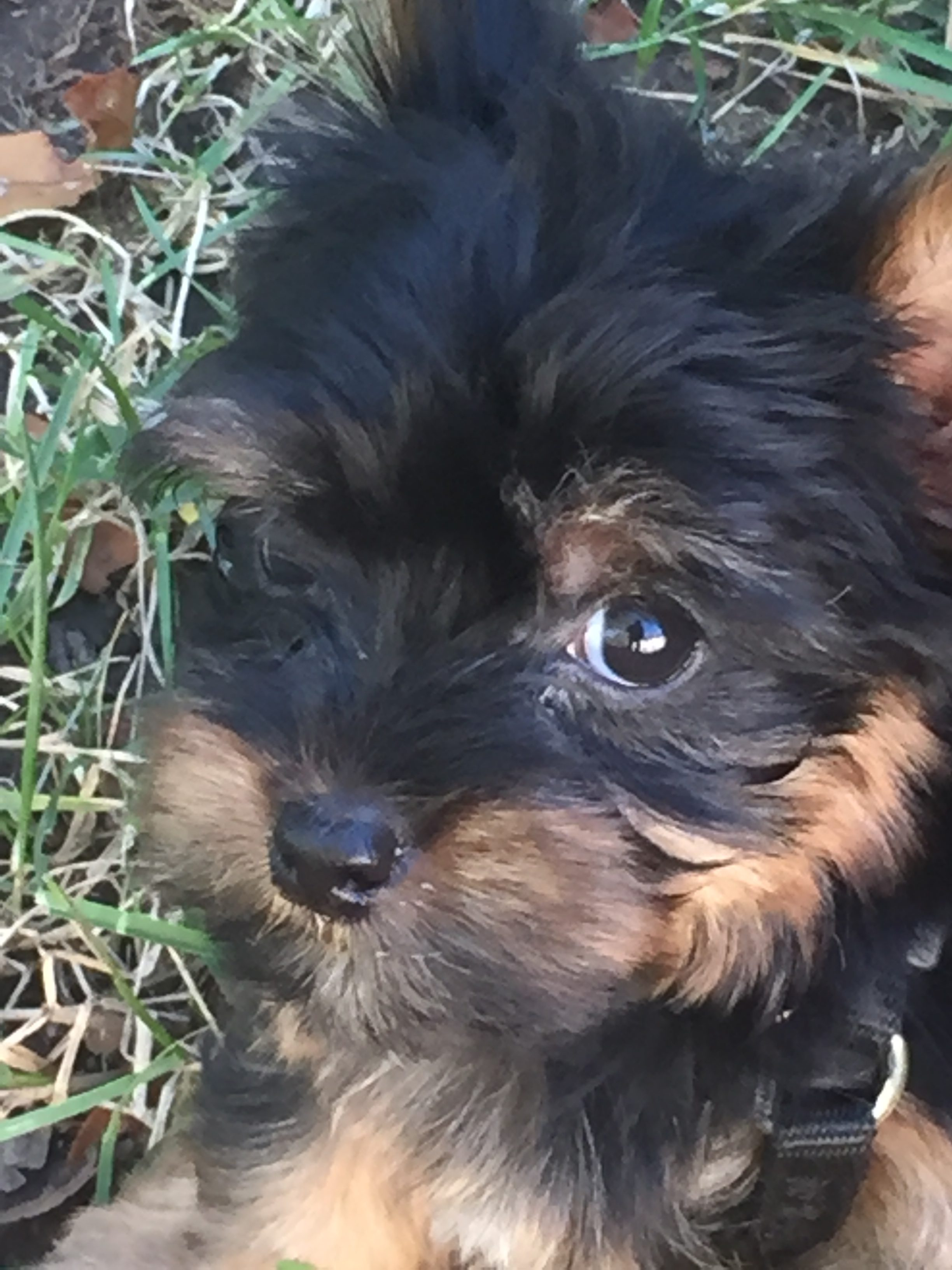 Yorkie puppy named Neo © Lynette M Burrows 2017